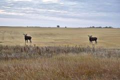 Prairie Moose Saskatchewan stock image