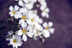 Prairie muis-Oor Wildflower Stock Afbeeldingen