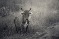 Prairie and ox Stock Photography