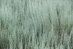 Prairie plant. Wavy plant growing in the plains of Colorado Royalty Free Stock Photo