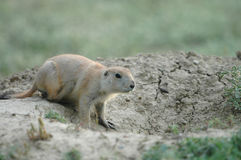 Prairie Pup Stock Photo
