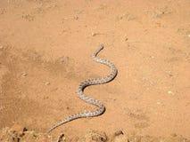 Prairie-Ratte-Schlange, Pantherophis emoryi stockfotos