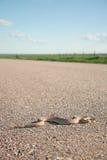 Prairie Rattler Stock Image
