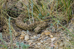 Prairie Rattlesnake Royalty Free Stock Photos