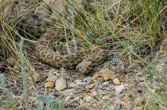 Prairie Rattlesnake. Blending into the ground & grass in Alberta, Canada Royalty Free Stock Photos