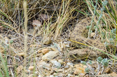 Prairie Rattlesnake Stock Image