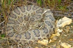 Prairie Rattlesnake (Crotalus viridis) Royalty Free Stock Image