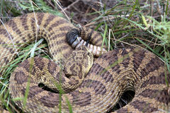 Prairie Rattlesnake, top view. Top view of a coiled Western Prairie Rattlesnake Royalty Free Stock Images