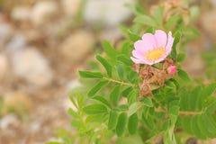 Prairie rose Stock Image