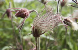 Prairie Smoke Flower Stock Images