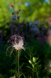 Prairie Smoke Royalty Free Stock Photo