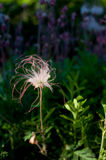 Prairie Smoke Royalty Free Stock Image