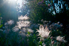 Prairie Smoke Royalty Free Stock Photos