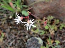 Prairie Star de Bulblet - glabrum de Lithophragma Photos libres de droits