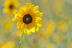 Prairie Sunflower Royalty Free Stock Images