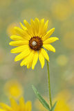 Prairie Sunflower Royalty Free Stock Photography