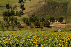 Prairie with sunflowers under the white clouds in Inner Mongolia Stock Images