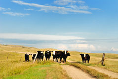 Prairie traffic jam. Cattle crossing a prairie road Royalty Free Stock Photos