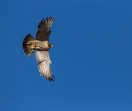 Falcon in Flight. Peregrine Falcon in flight against a blue sky royalty free stock image