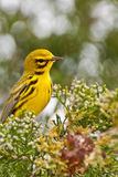 Prairie Warbler Royalty Free Stock Photos