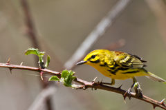 Prairie Warbler Stock Photography