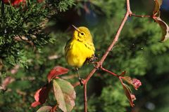 Prairie Warbler (Dendroica discolor) Royalty Free Stock Image