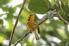 Prairie Warbler Dendroica discolor Stock Photography