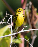 Prairie Warbler. Male Prairie Warbler (Setophaga discolor) perched on a branch Royalty Free Stock Photo
