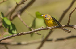 Prairie Warbler perched on a branch Royalty Free Stock Images