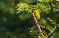 Prairie Warbler perched on a branch Royalty Free Stock Photos