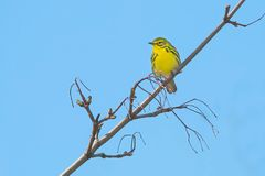 Prairie Warbler. Perched on a branch. Ashbridges Bay park, Toronto, Ontario, Canada Royalty Free Stock Image