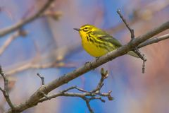 Prairie Warbler. Perched on a branch. Ashbridges Bay park, Toronto, Ontario, Canada Stock Photo