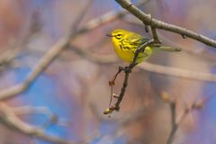 Prairie Warbler. Perched on a branch. Ashbridges Bay park, Toronto, Ontario, Canada Stock Images