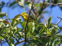 Prairie Warbler Setophaga discolor. Prairie Warbler (Setophaga discolor) perched in a tree Royalty Free Stock Images