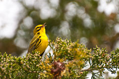 Prairie Warbler Stock Photo