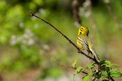 Prairie Warbler Stock Photo