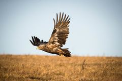 Prairie wings on the prairie flying grassland flying eagles Royalty Free Stock Photography