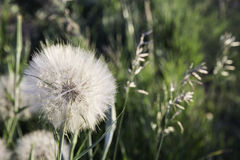 Prairie wishes. Goatsbeard weed growing in a field Royalty Free Stock Photography