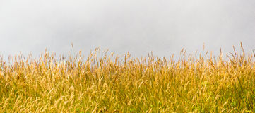 Prairie. Yellow prairie on mist background stock photo