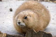 Prairiedog Stock Photos