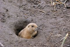 Prairiedog Royalty Free Stock Image