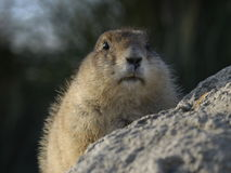 Prairiedog Royalty Free Stock Photos
