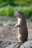 Prairiedog dopatrywanie Zdjęcia Royalty Free