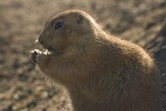 Prairiedog eating Royalty Free Stock Photo