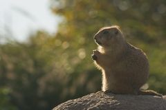 Prairiedog relaxed. Prairiedog sitting relaxed on a small hill stock photo