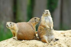 Prairiedogs images stock