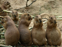 Prairiedogs Photographie stock