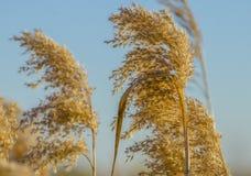 Prairiegras Royalty-vrije Stock Afbeelding