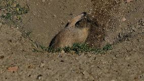 Prairiehond, Cynomys-ludovicianus, die in hol graven die dan omhoog eruit zien stock footage