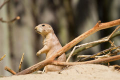 Prairiehond die aan de linkerzijde staren Royalty-vrije Stock Afbeelding